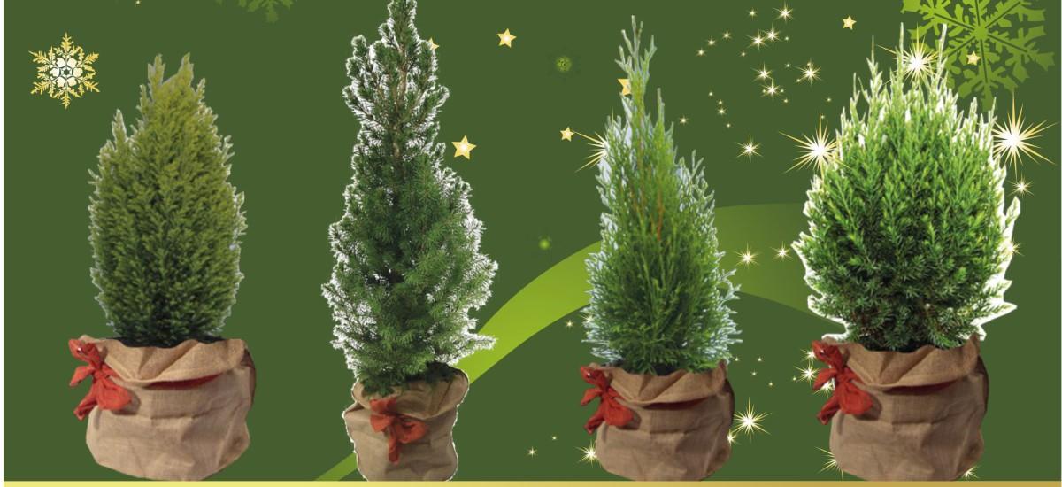 Świerk, tuja, jałowiec? A może cyprysik… Świąteczne eko prezenty.